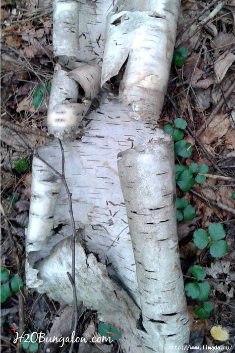 Birch-bark-in-VT-2 (466x700, 322Kb)