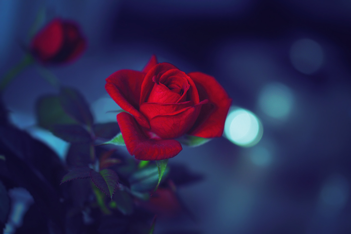 red-rose-blues (700x466, 142Kb)