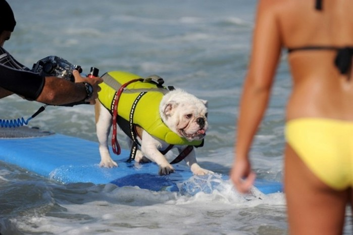 Соревнования по серфингу среди собак в Калифорнии