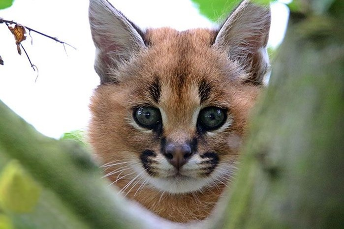 Детеныши каракала   самые милые котята на планете, если не считать бархатных кошек!