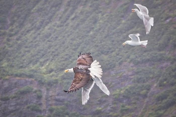 Чайка настучала по голове орлану, укравшему ее подругу