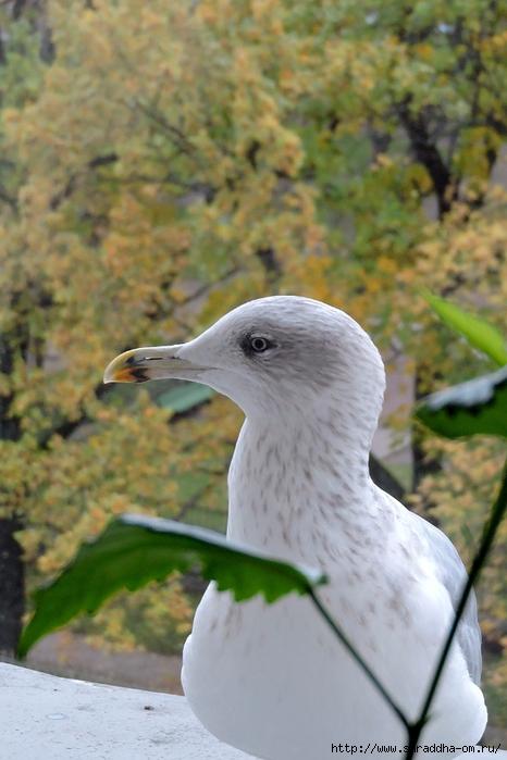 Чайка по имени Джонатан Ливингстон (3) (466x700, 242Kb)