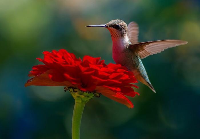 kolibri-pchelka-750x521 (700x486, 40Kb)