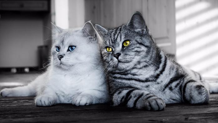 две-кошки (700x393, 195Kb)