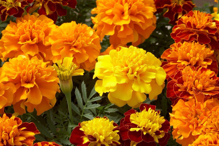 Tagetes-essential-oil (700x465, 455Kb)