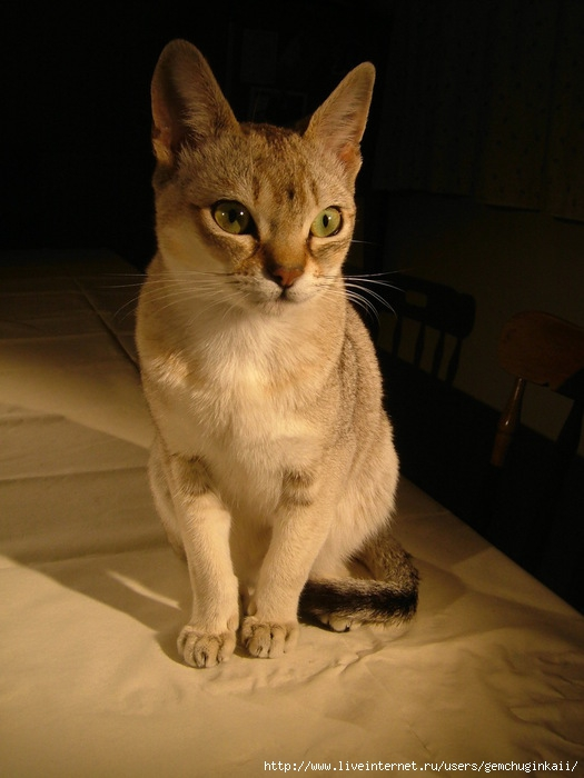 Raffles_singapura_cat (525x700, 167Kb)