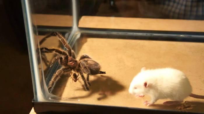 Китайские блогеры устроили жестокие бои между крысами, пауками и скорпионами