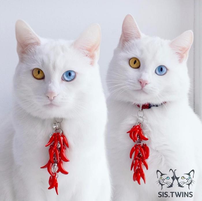 фото белых кошек 1 (700x696, 283Kb)