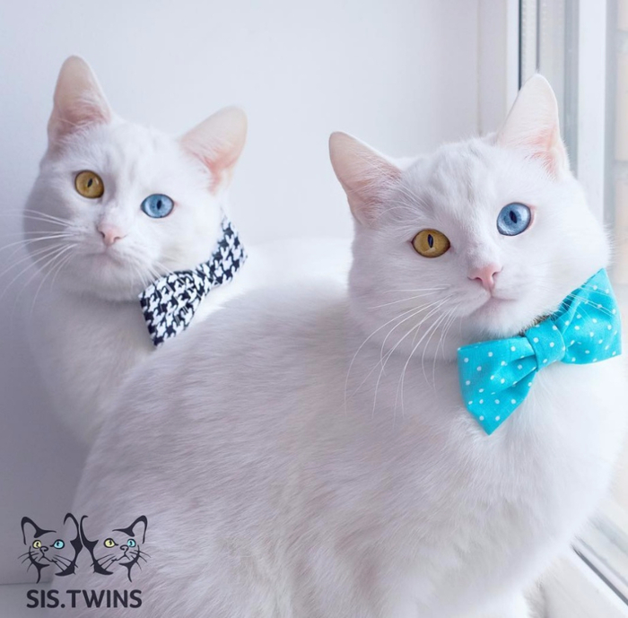 фото белых кошек 3 (700x689, 295Kb)