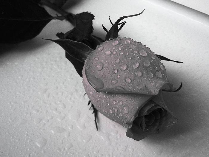 роза (700x527, 46Kb)