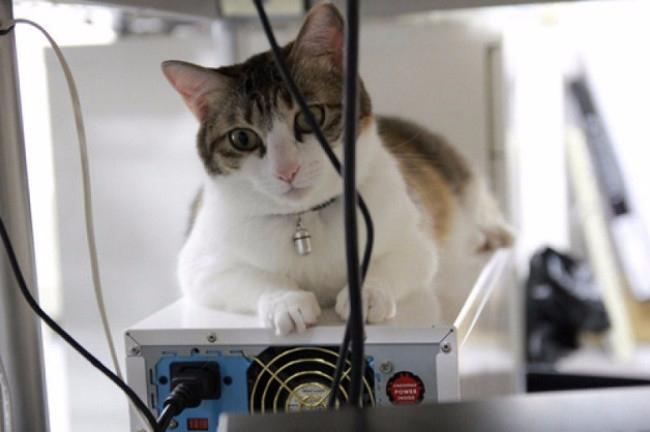 кошки в офисе 4 (650x432, 186Kb)