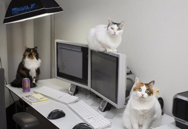 кошки в офисе 8 (650x446, 160Kb)