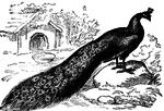 Превью peacock_7215_lg (320x218, 105Kb)