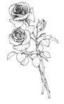 Превью 78846912_large_roses076 (428x699, 81Kb)