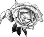 Превью 78847086_large_roses081 (700x595, 203Kb)