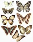 Превью 85064359_large_1280200739_55_FT838_august_2010_butterflies_ (234x298, 90Kb)