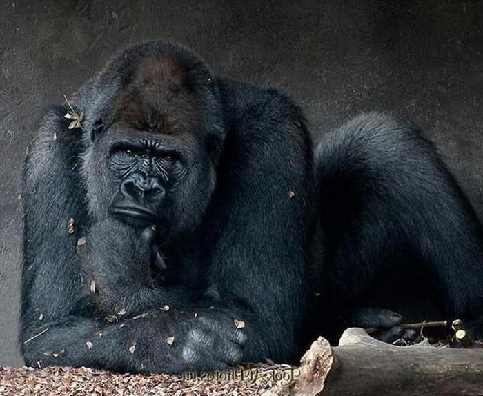 Как в австралийском зоопарке 38-летняя горилла уходила на пенсию