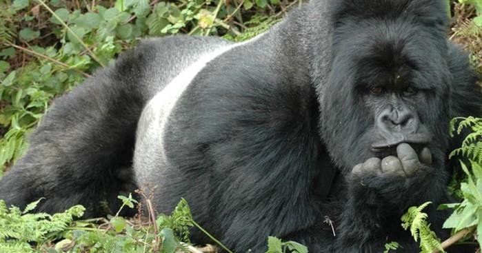 В австралийском зоопарке 38 летняя горилла уходит на пенсию