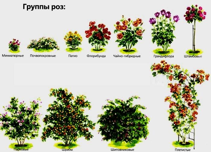 группы роз (700x504, 365Kb)