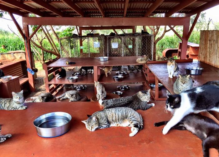 кошачий приют на гаваях 11 (700x503, 449Kb)