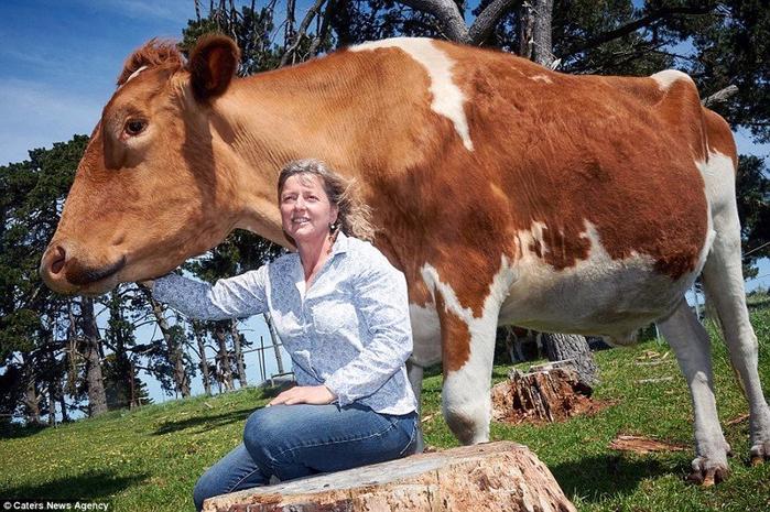 самая большая в мире корова 4 (700x465, 448Kb)