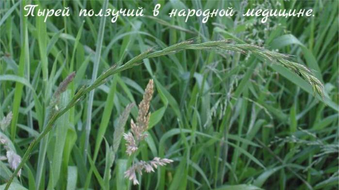 "alt=""Пырей ползучий в народной медицине.""/2835299_Pirei_polzychii_v_narodnoi_medicine_ (700x392, 475Kb)"
