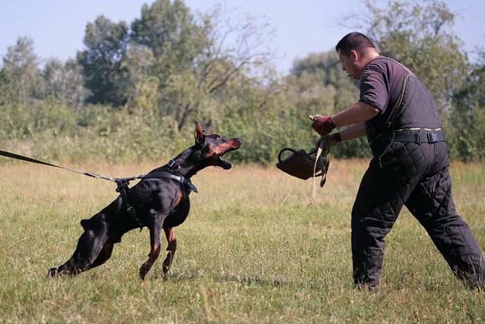 Будьте осторожны! 10 самых агрессивных пород собак