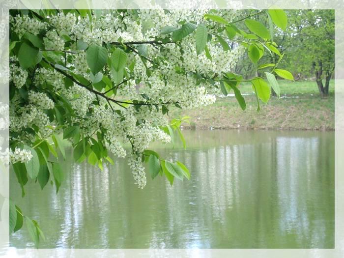 6010649_Cheryomuxa_u_vody (700x525, 67Kb)