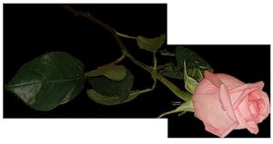 розочка (300x159, 42Kb)