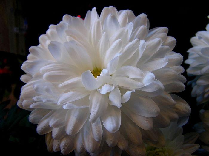 1280px-Chrysanthemum_aka_white_mums (700x525, 43Kb)