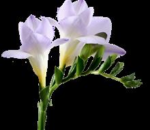 freesia-avila (220x190, 45Kb)