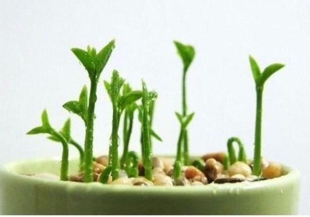 Как вырастить лимонное дерево в чашке8 (604x424, 131Kb)