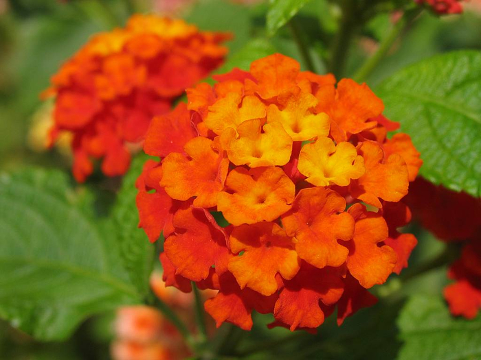 lantana-camara-orange-shrub-flower (700x525, 343Kb)