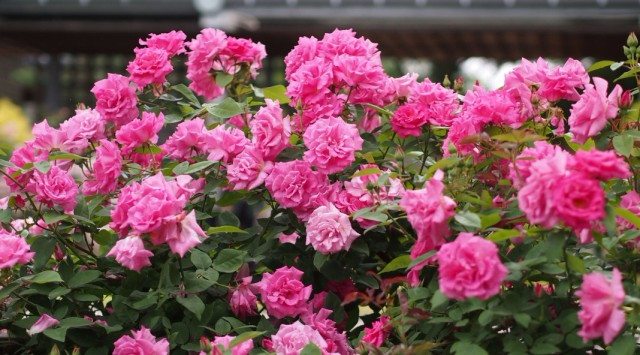 Бурбонская роза (640x355, 290Kb)