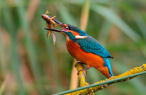 non_fish_prey_in_the_diet_of_common_kingfisher_1_600 (600x393, 191Kb)