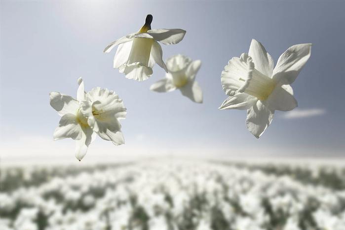 velikolepnaya-seriya-fotografijj-cvety-v-nevesomosti-6 (700x466, 163Kb)