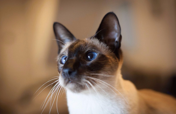 Siamese_Cats_02 (700x454, 225Kb)