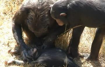 Трагические кадры оплакивания детеныша шимпанзе