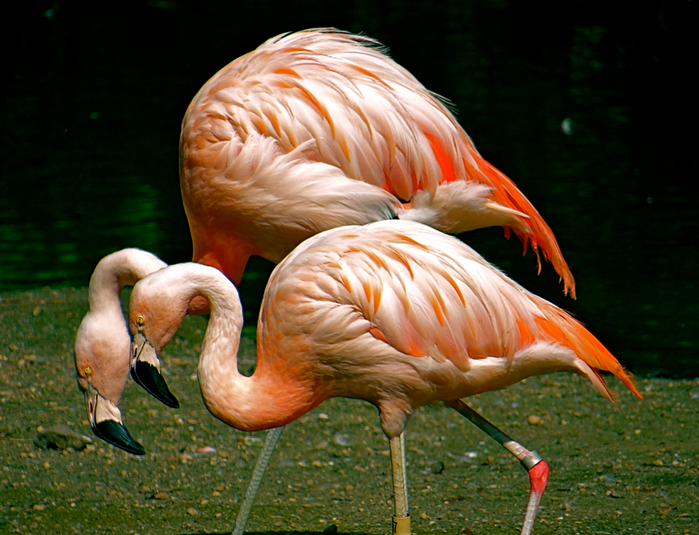 Flamingo_09 (700x535, 472Kb)
