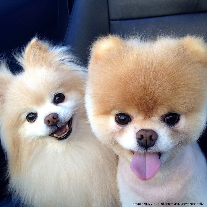 Cute-Pomeranian-Pictures (700x700, 263Kb)