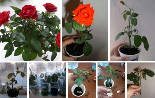Как укоренить розы из букета. Мастер-класс