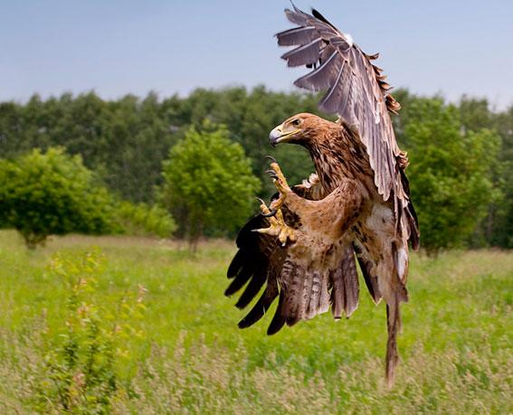 Орёл могильник