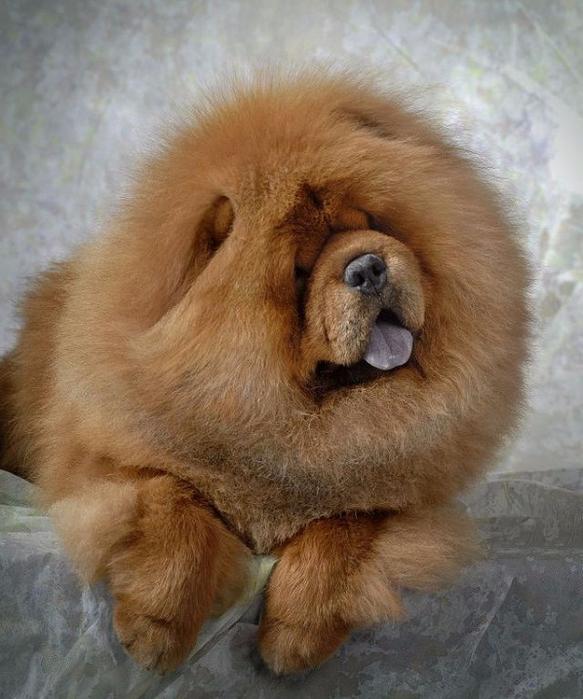 7-Чау-чау - собака с внешностью льва1 (583x700, 412Kb)