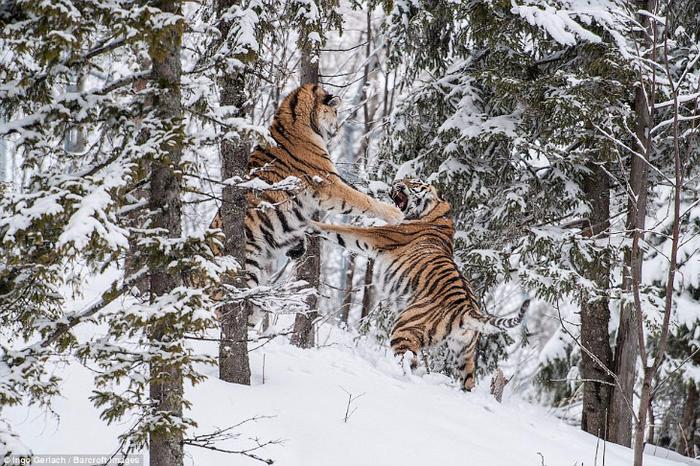 фото амурских тигров 3 (700x466, 482Kb)