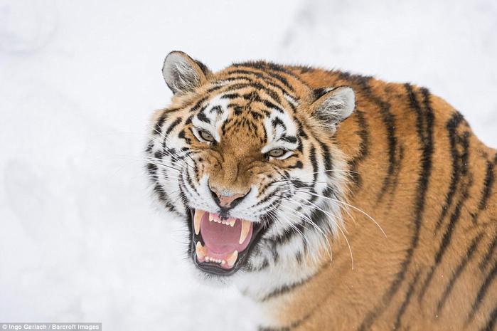 фото амурских тигров 5 (700x465, 277Kb)