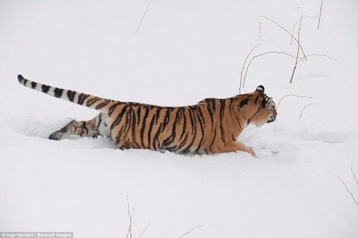 фото амурских тигров 8 (700x465, 178Kb)