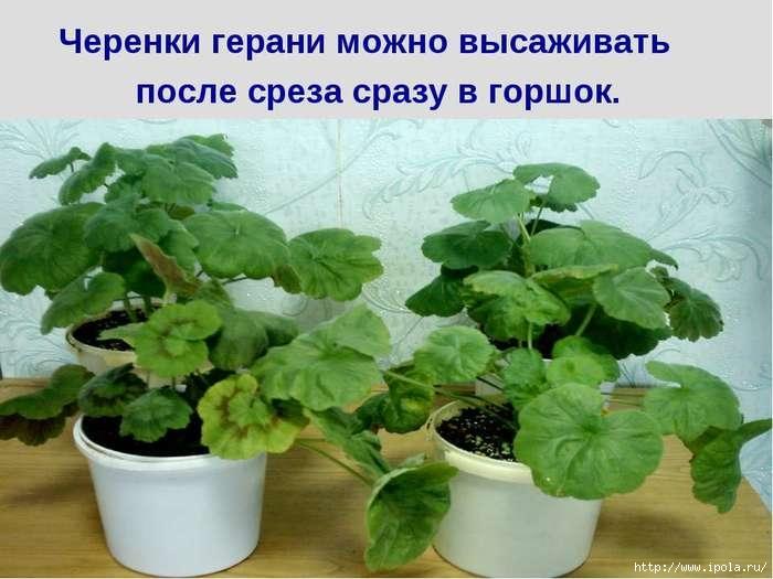 "alt=""Лечение геранью""/2835299_Lechenie_geranu0 (700x525, 162Kb)"