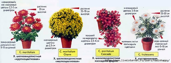 Обрезка хризантемы в горшке в домашних условиях 160