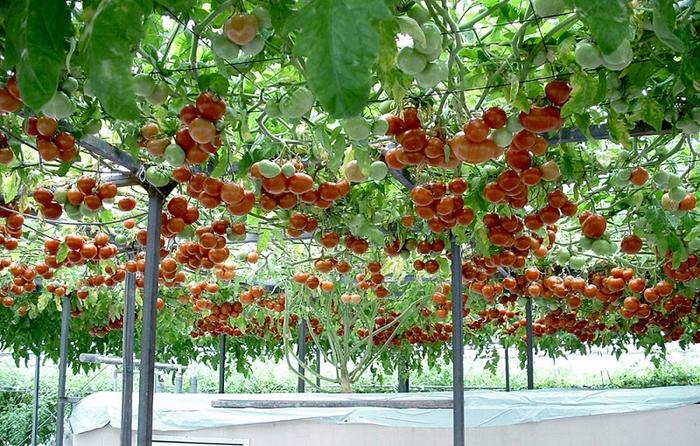 5-Плоды помидорного дерева (700x446, 513Kb)