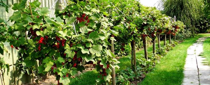 штамбовые ягодные культуры (700x283, 349Kb)